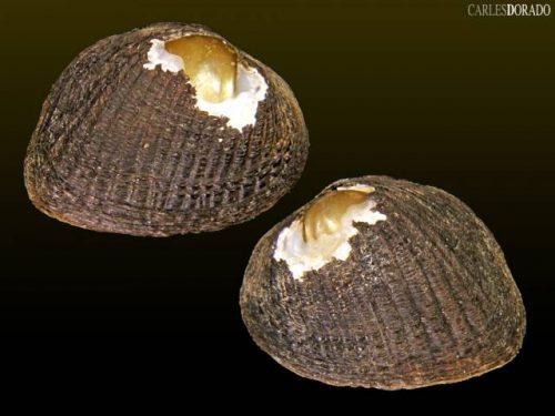 Rhipidodonta hylaea