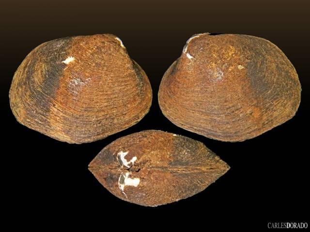 Anodontites sp.