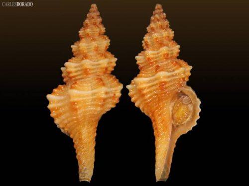 Fusinus cf. pulchellus