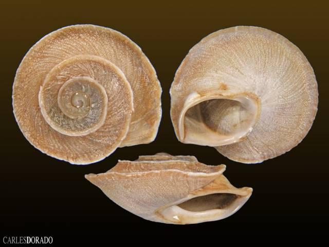 Alabastrina homadensis