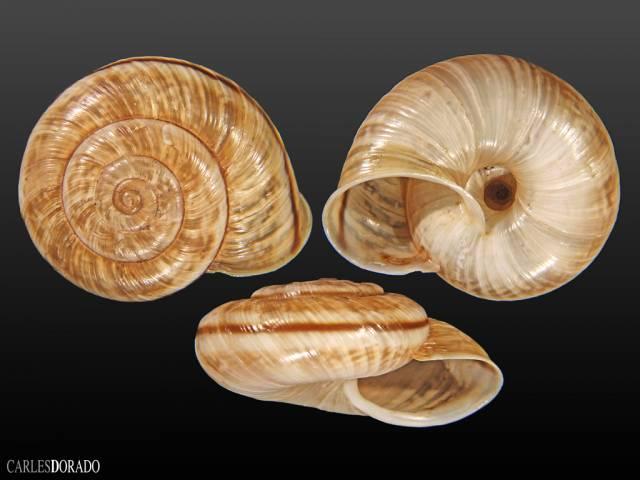Chilostoma cingulatum colubrinum