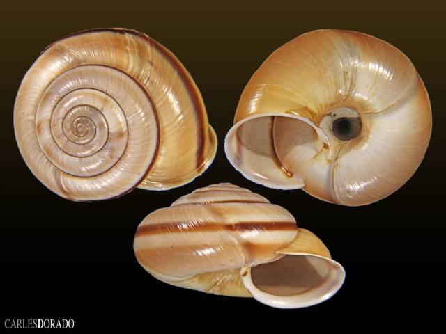 Chilostoma cingulatum apuanum