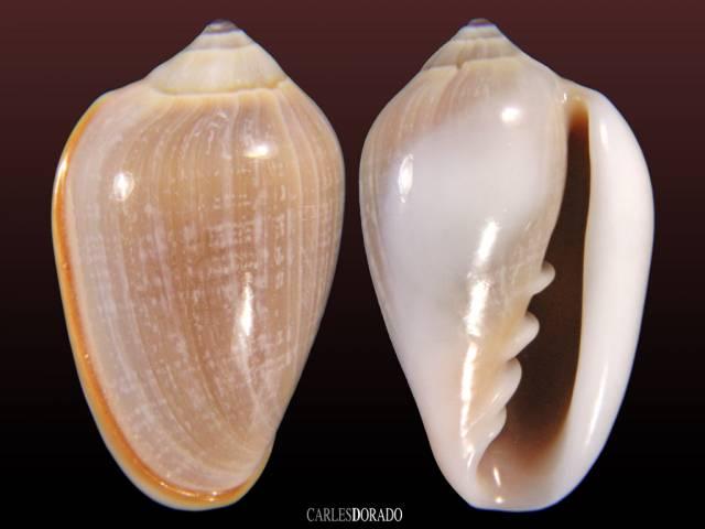 Prunum macleani