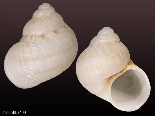 Pomatias lanzarotensis