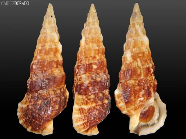 Cerithium alucastrum