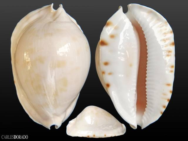 Zoila marginata albanyensis f. nimbosa