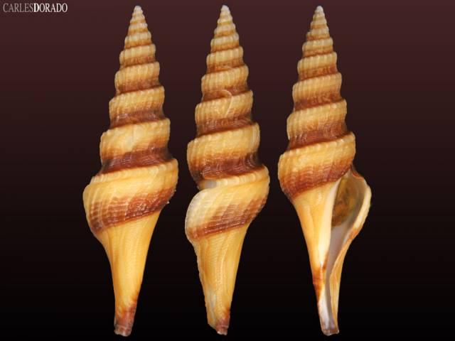 Fusiturris similis