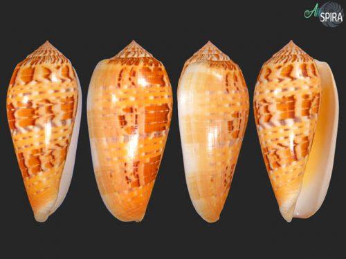 Conus dusaveli