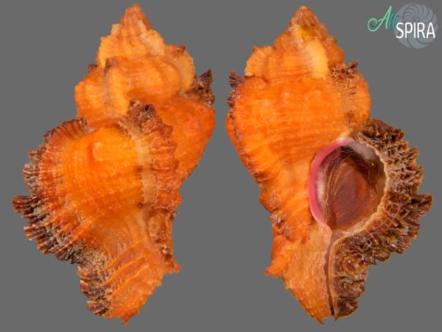 Chicomurex laciniatus