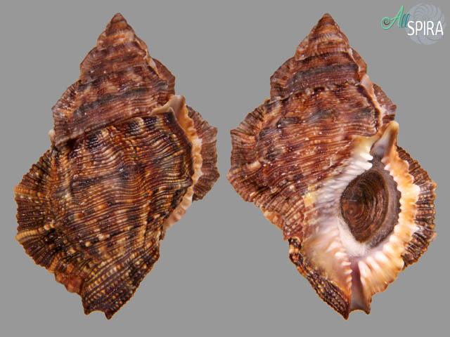 Bufonaria margaritula