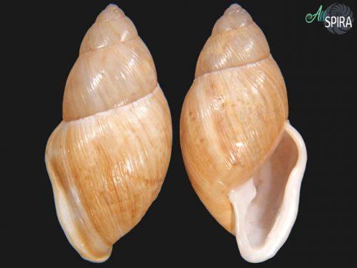 Eudolichotis glabra