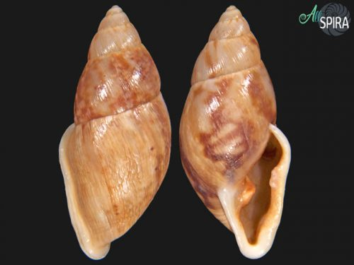 Eudolichotis distorta