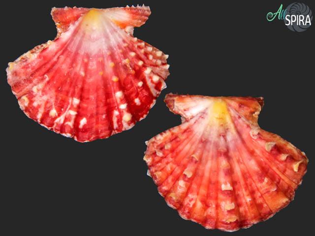 Mirapecten mirificus