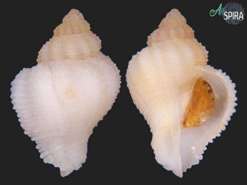 Coralliophila panormitana