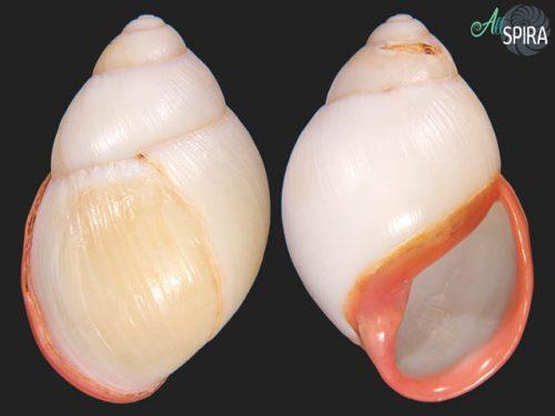 Megalobulimus oblongus oblongus
