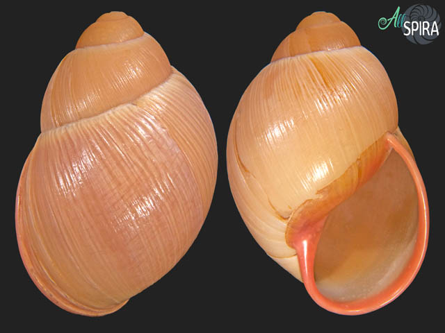 Megalobulimus capillaceus