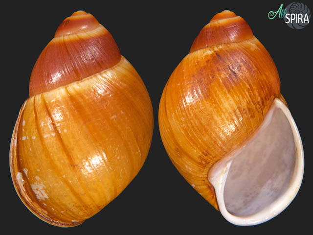 Megalobulimus mauricius