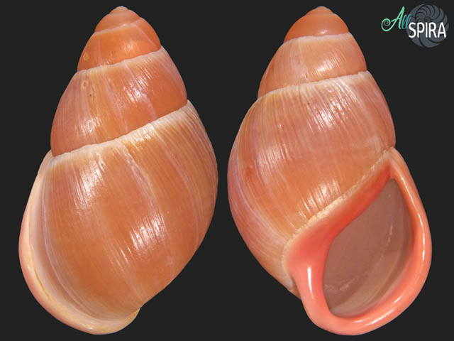 Megalobulimus sp