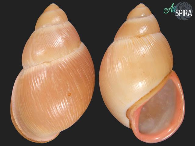 Megalobulimus abbreviatus