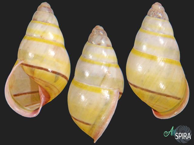 Amphidromus adamsi duplocincta
