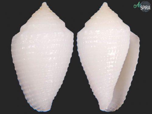 Conus dedonderi
