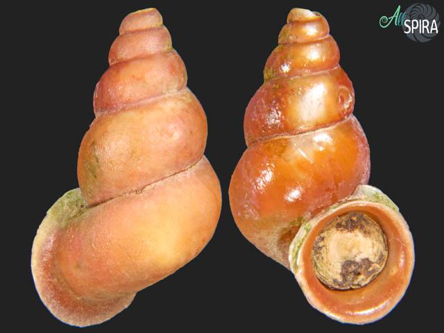 Schistoloma cf anostoma