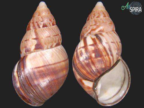 Orthalicus maracaibensis