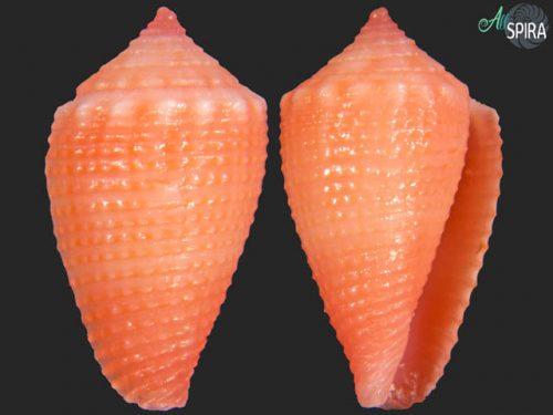 Conus axelrodi