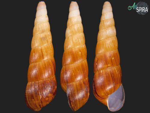 Subulinidae