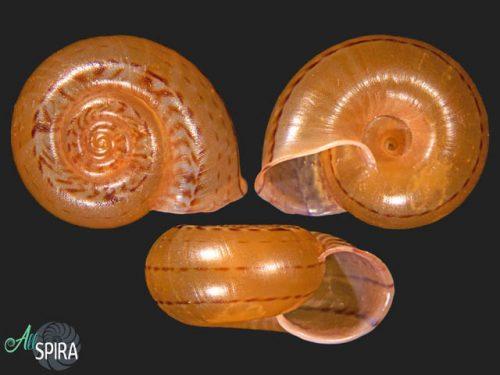 Solaropsis monile