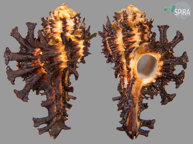 Homalocantha scorpio