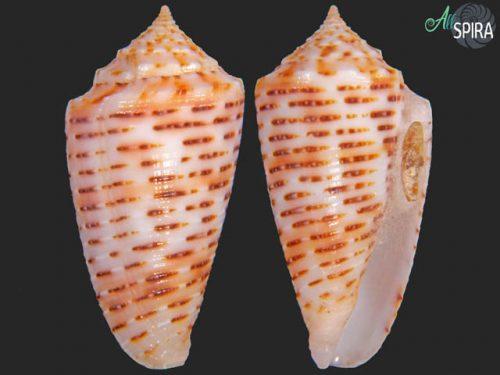 Conus cebuensis