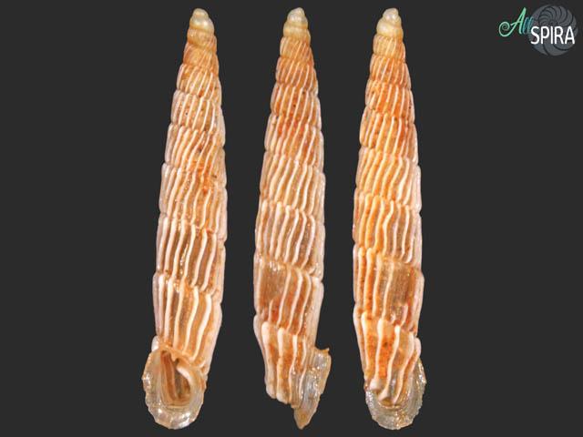 Agathylla cf. narentana