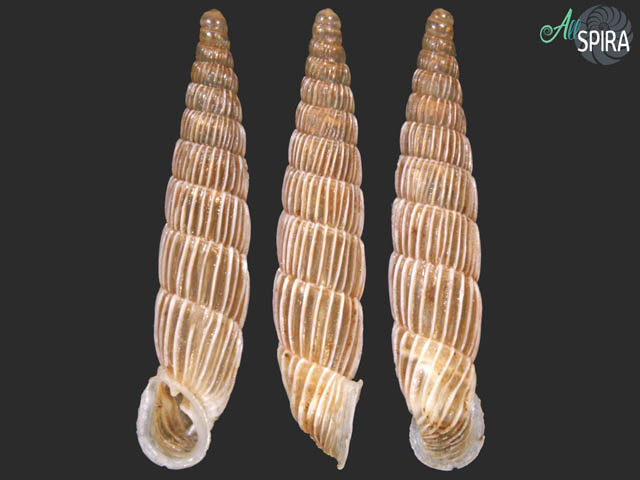 Agathylla sulcosa irregularis