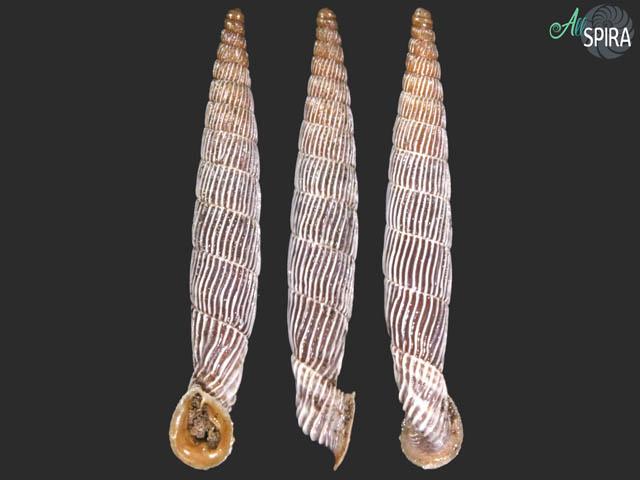 Agathylla exarata exarata