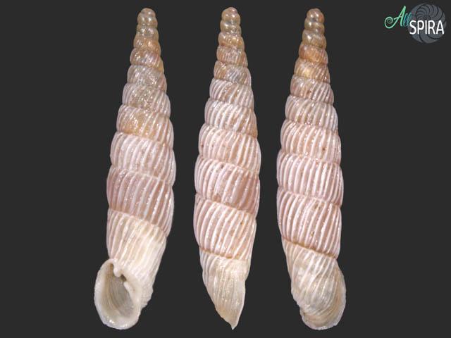 Agathylla sulcosa cataphracta