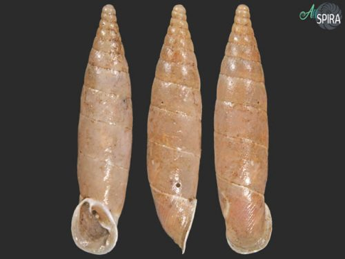 Delima latilabris tenebrosa