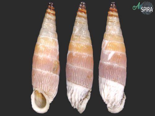 Albinaria corrugata turgida