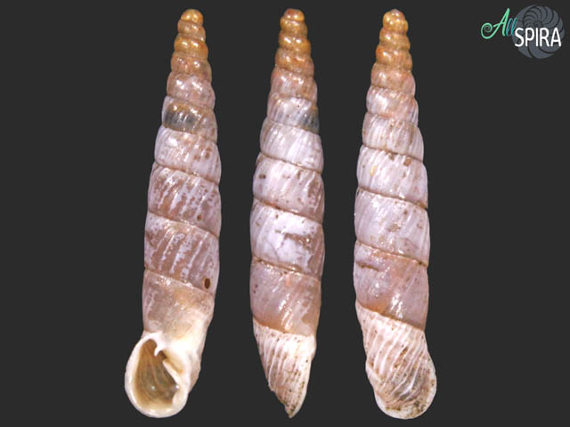 Agathylla sulcosa camenensis