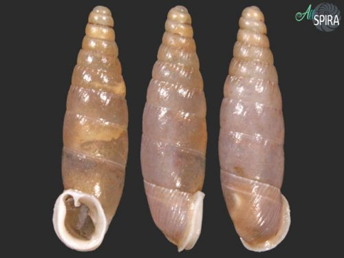 Dilataria succineata dazueri