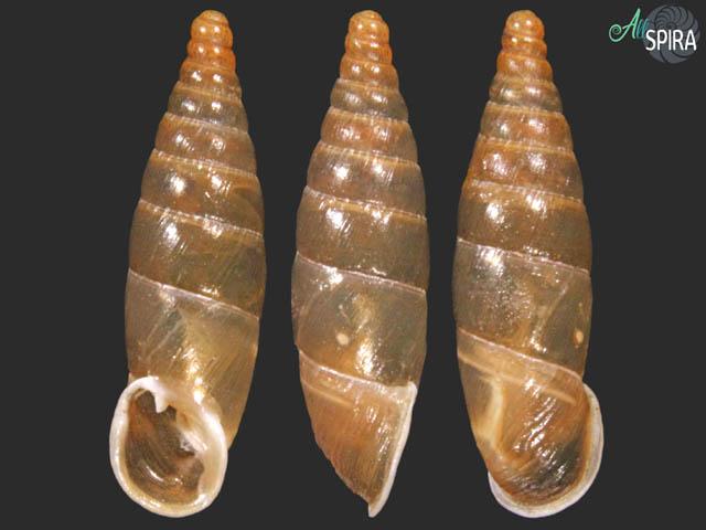 Delima vidovichii vidovichii
