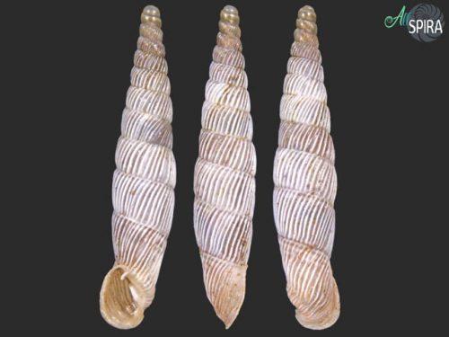 Agathylla sulcosa sulcosa
