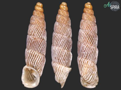 Agathylla strigillata strigillata