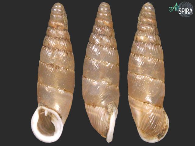 Dilataria succineata mathildae