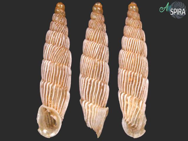 Agathylla lamellosa