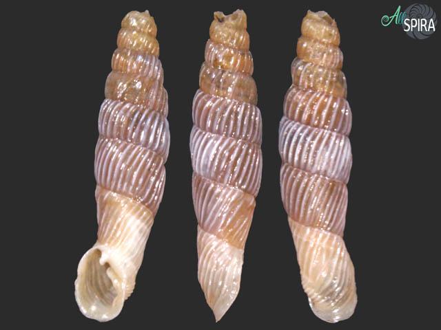 Agathylla sulcosa diminuta
