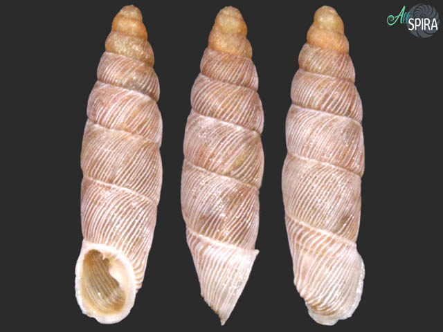 Agathylla formosa