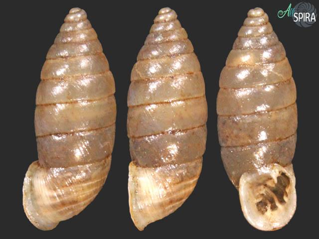 Granaria illyrica