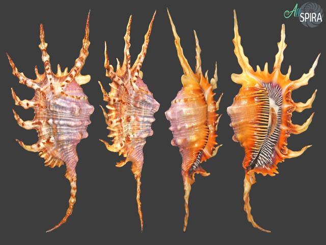 Lambis scorpius PURPLE