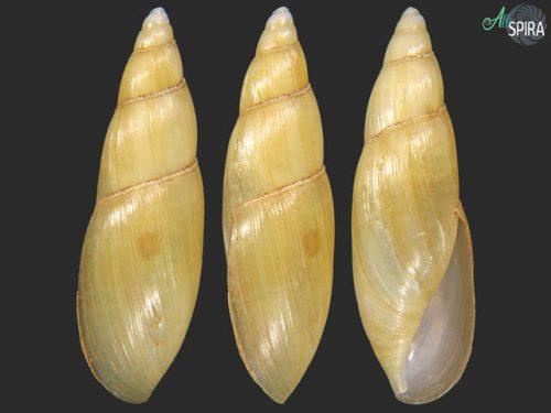 Oleacinidae